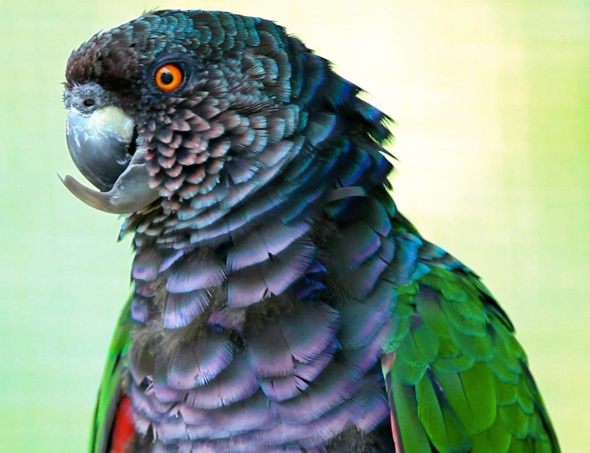 A parrot in Dominica