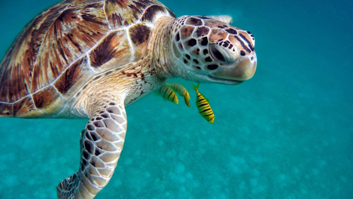A turtle in the Maldives