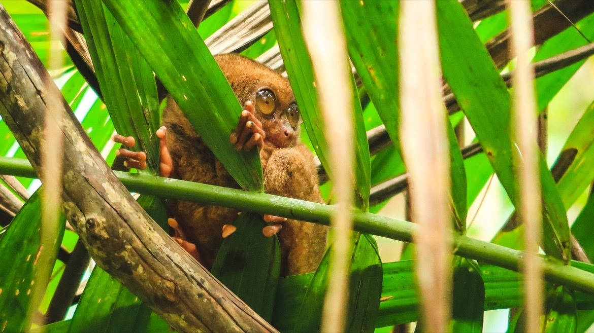 Tarsiers are one of the top Bohol attractions
