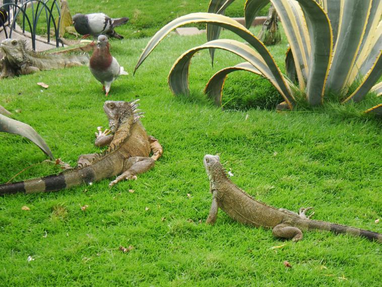 ecuador-guayaquil-iguanas