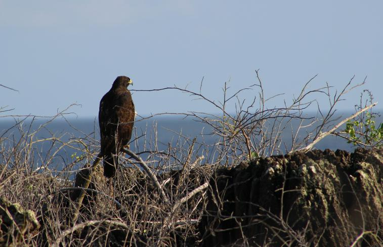 Galapagos Hawk espanola