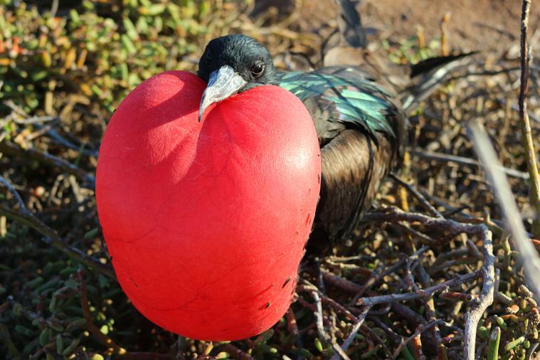Magnificent Frigatebird on North Seymour Island in the Galapagos Islands