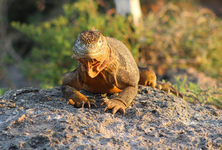 galapagos-plaza-iguana3