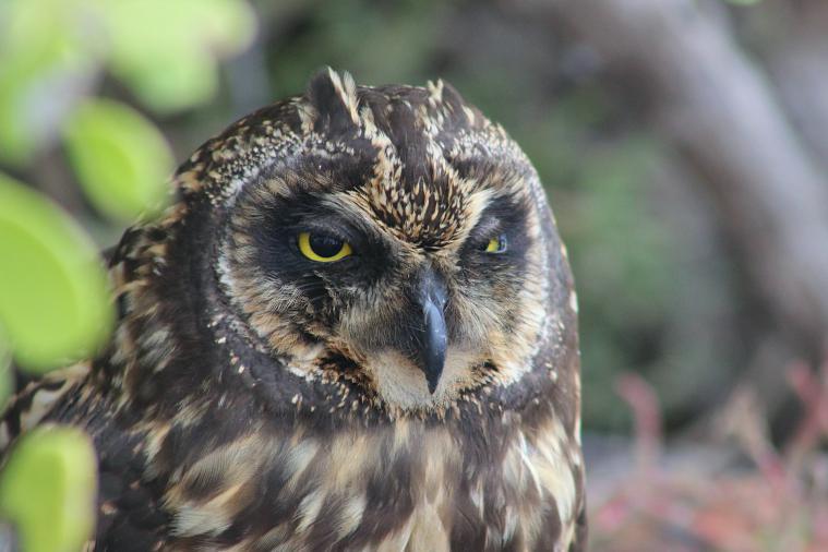 galapagos-plaza-owl