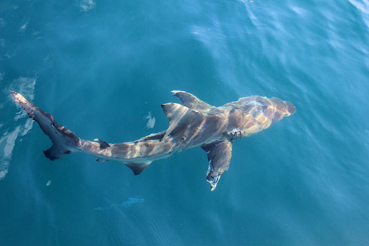 galapagos-sombrerochino-shark3