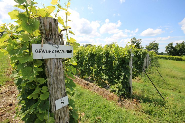 A vineyard in Eastern Townships, Quebec