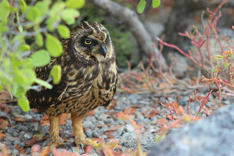short eared owl galapagos islands