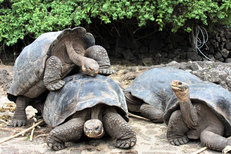Santa Cruz Galapagos tortoises