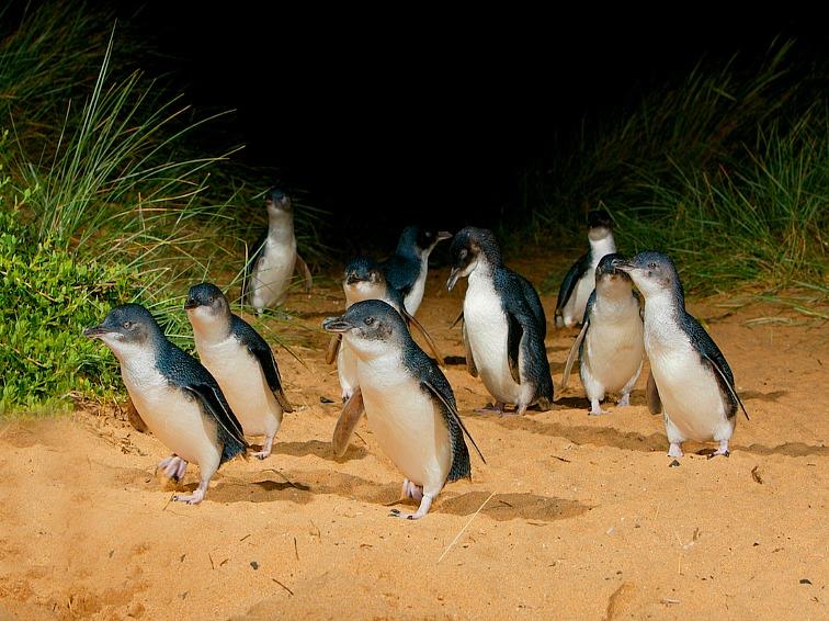 The Phillip Island penguin tour in Australia