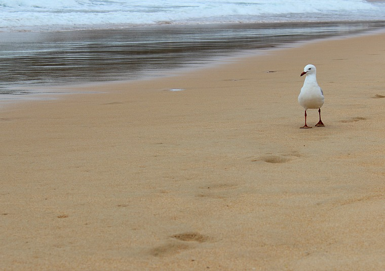 A bird on the beach in Manly Beach, Sydney