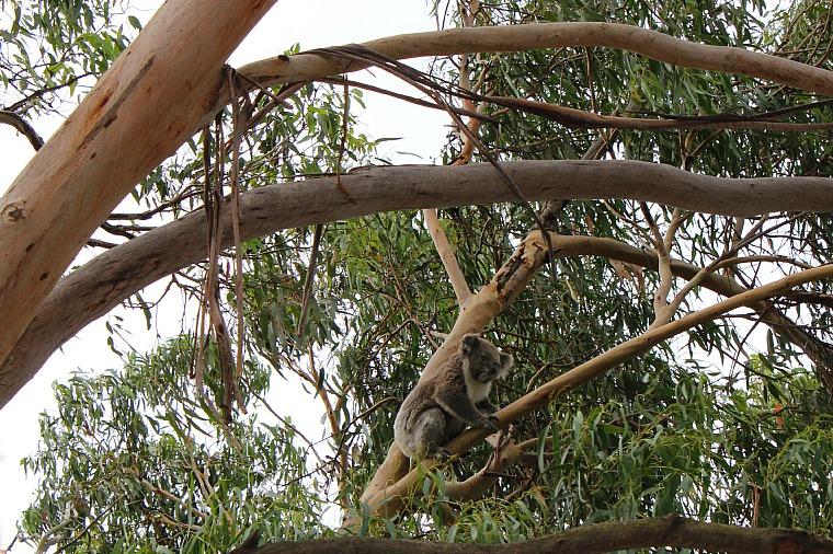 The Phillip Island Koala Conservation Centre