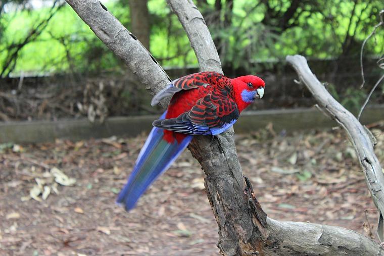 stops along great ocean road australia parrot
