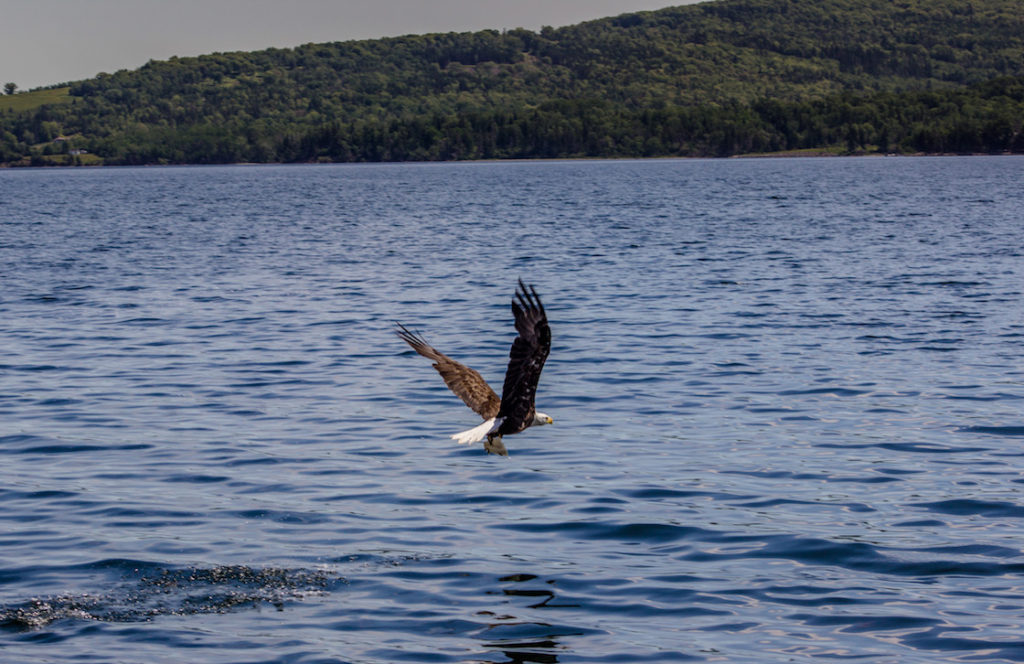 An eagle in Baddeck, Nova Scotia