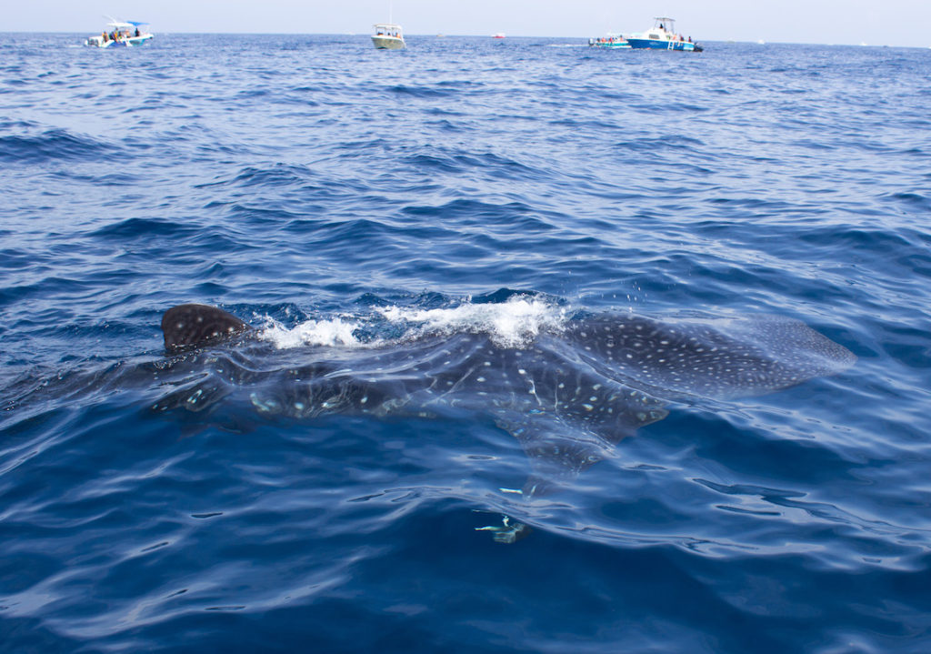 Mexico-Holbox-Whale-Shark-20
