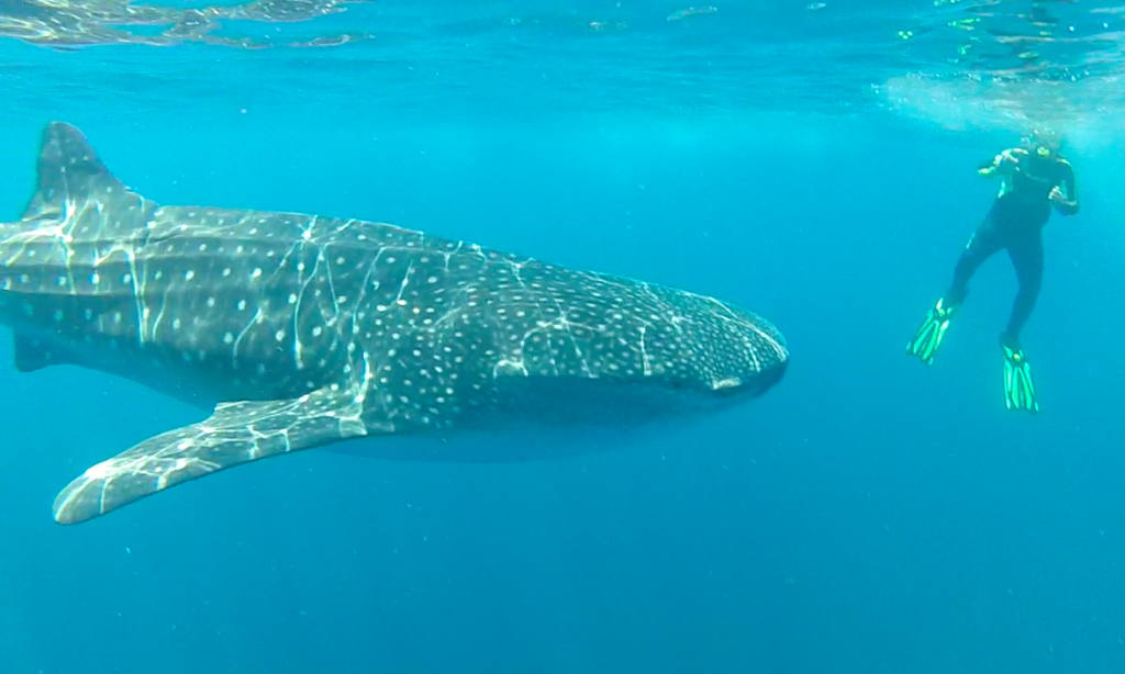 mexico-holbox-whale-shark-snorkel