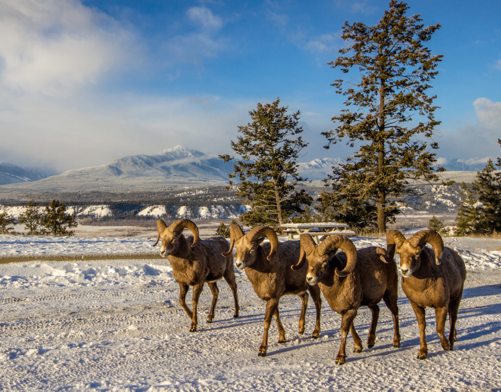 Bighorn sheep in the Columbia Valley. British Columbia, Canada