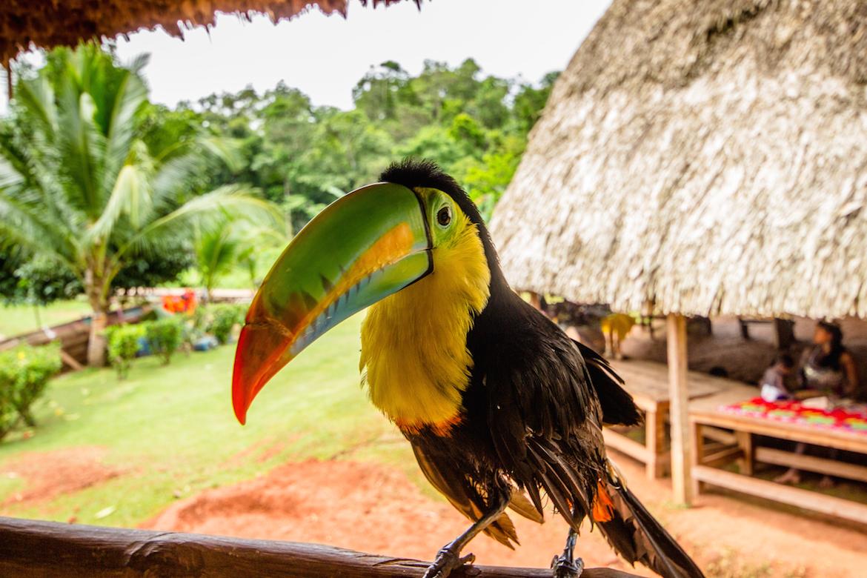 A toucan in Embera Quera Village Panama