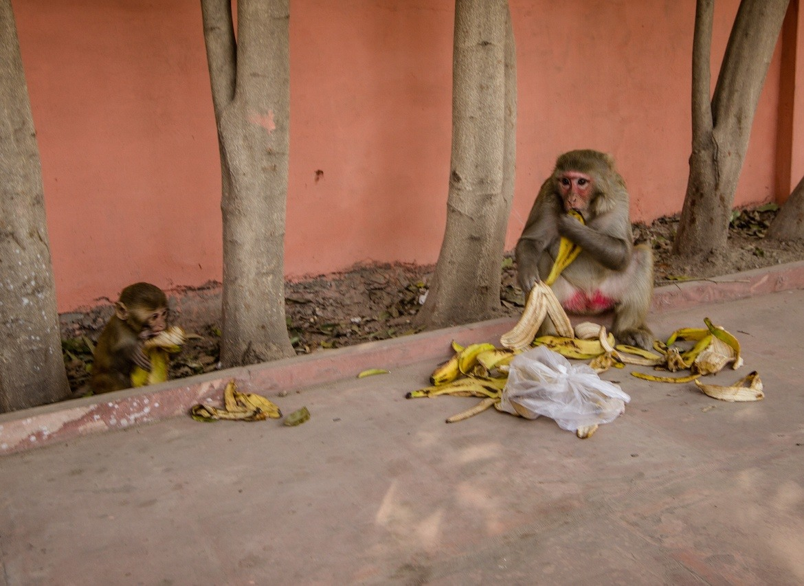 Taj Mahal visit monkeys