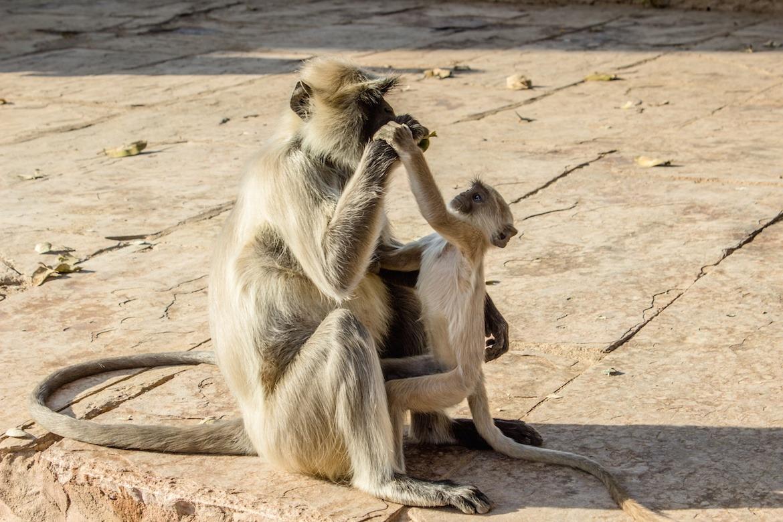 Monkeys in Chittorgarh