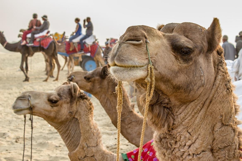 Palace on Wheels Jaisalmer camels desert
