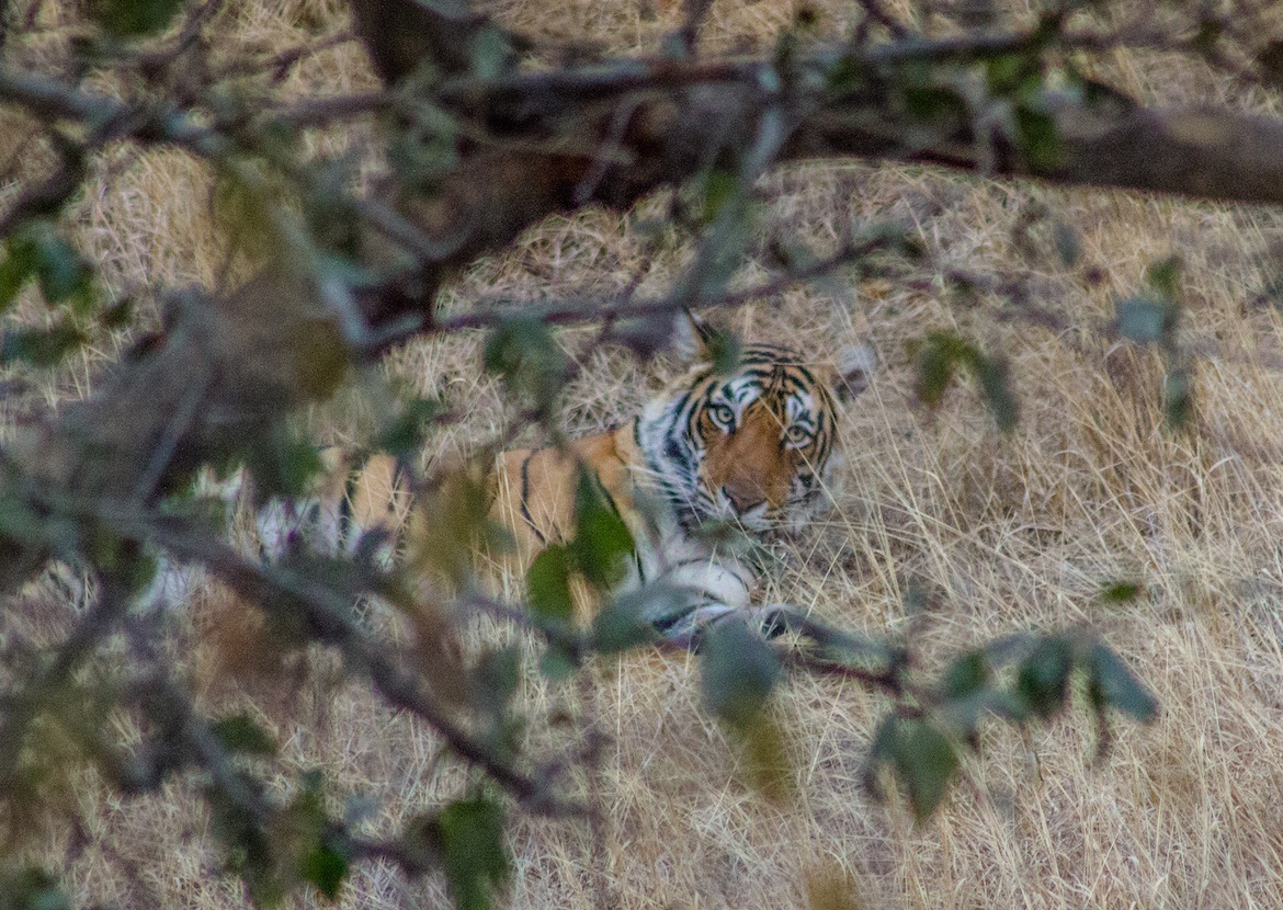 A bengal tiger in Ranthambore National Park