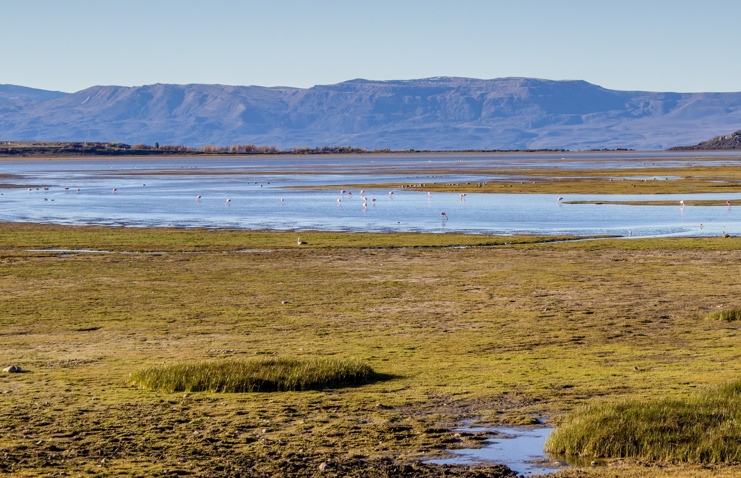 Flamingos in El Calafate