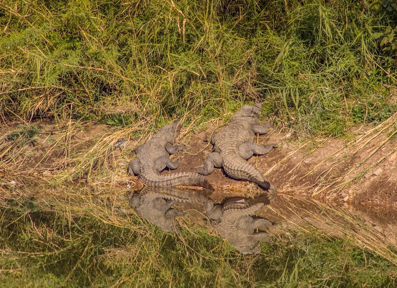 Crocodiles in Ranthambore National Park, India