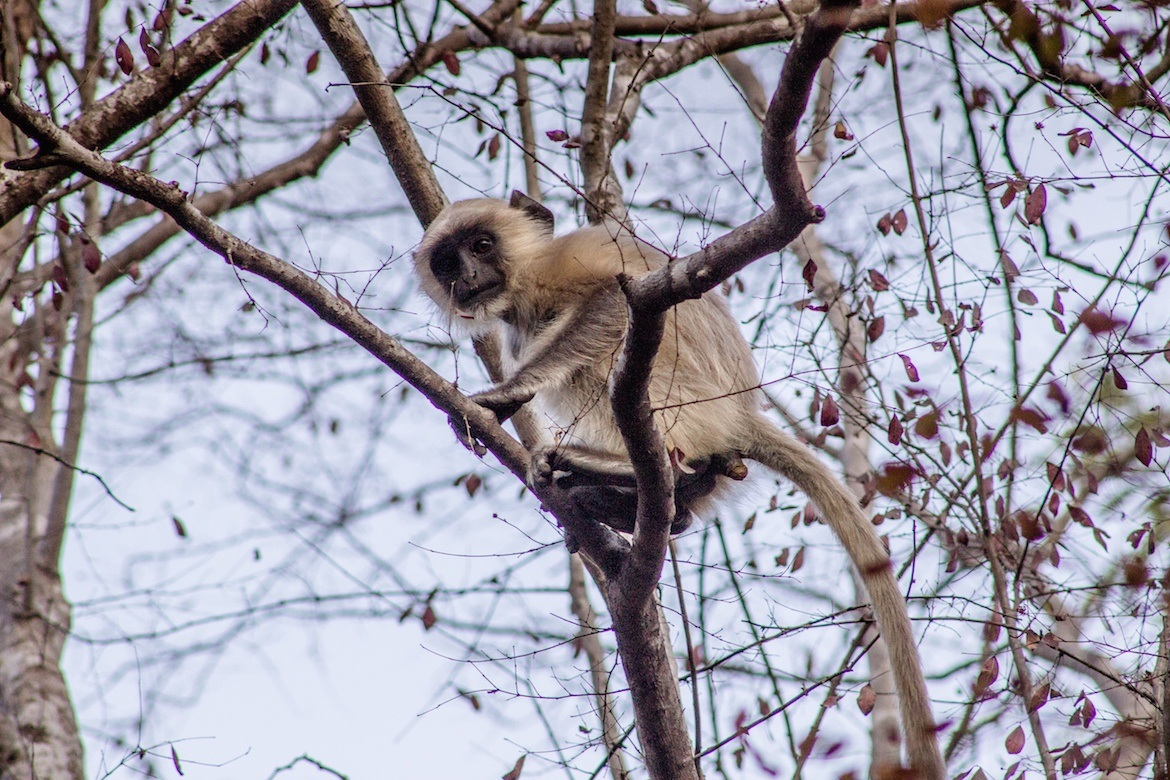 A monkey in Ranthambore National Park, India