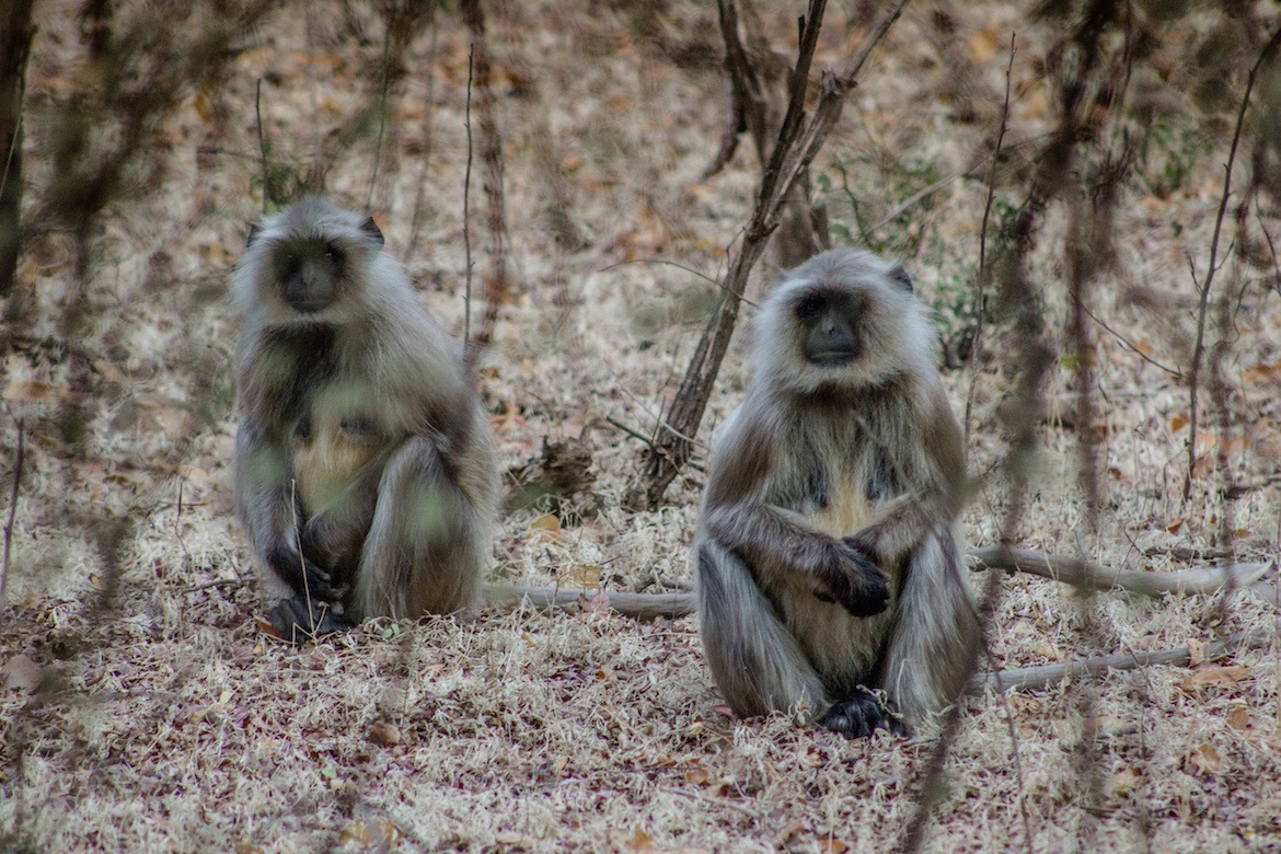 Black face monkeys in Ranthambore National Park, India
