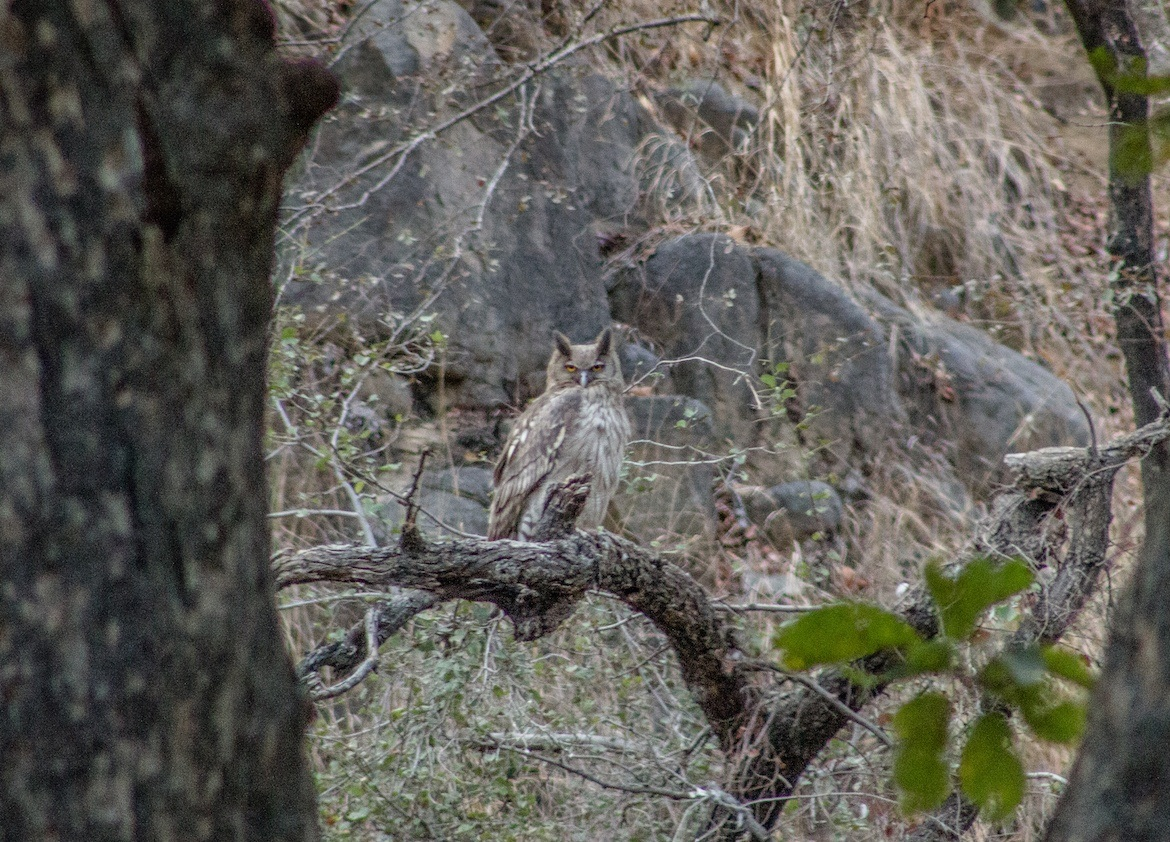 An owl in Ranthambore National Park, India