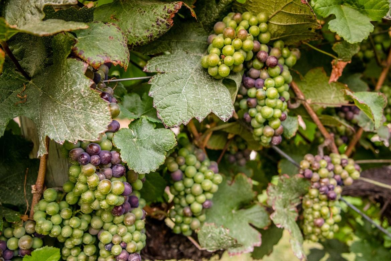 A vineyard in Kelowna
