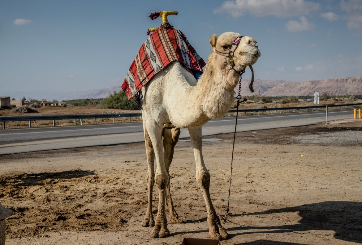 A camel near the Dead Sea in Israel