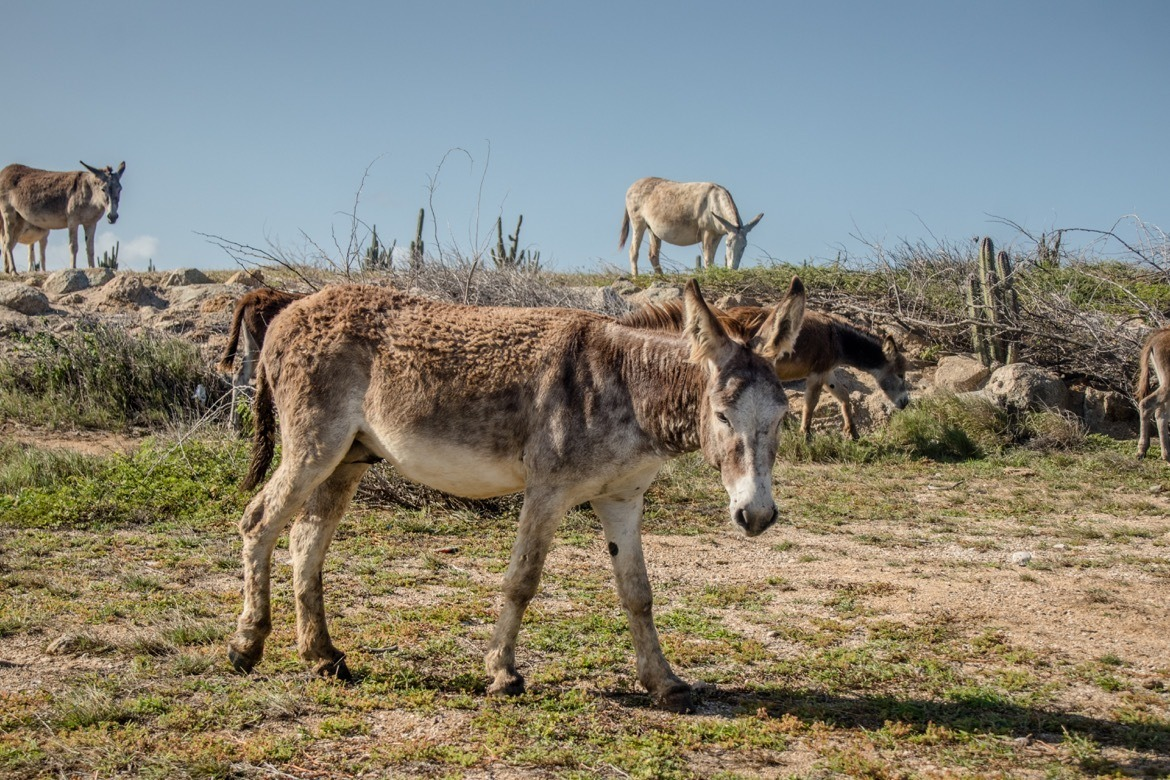 Donkeys in Aruba