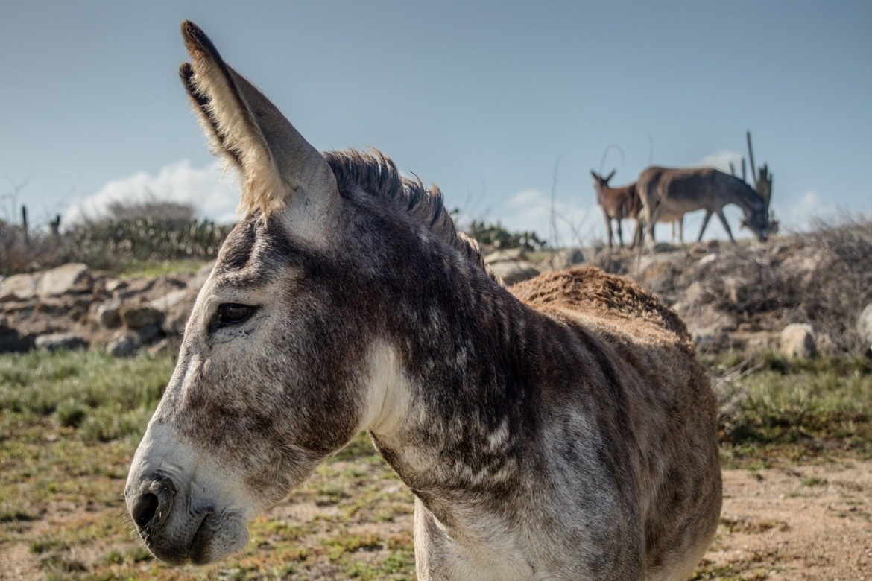 Donkeys in Aruba