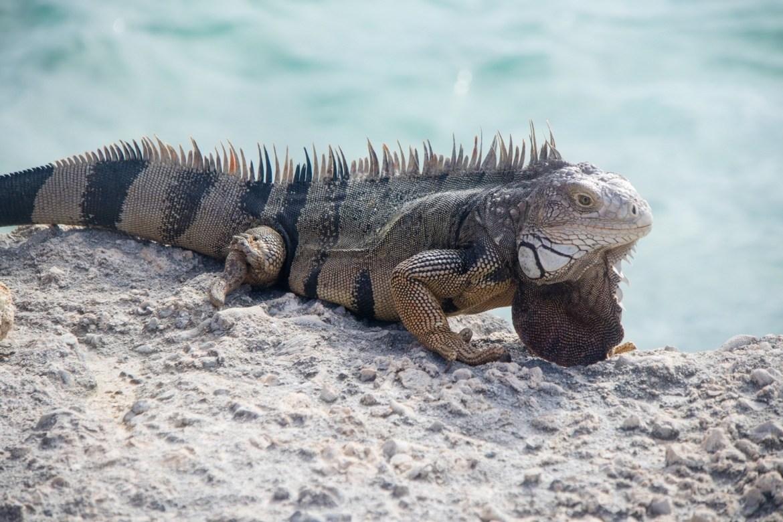 An iguana on De Palm Island, Aruba