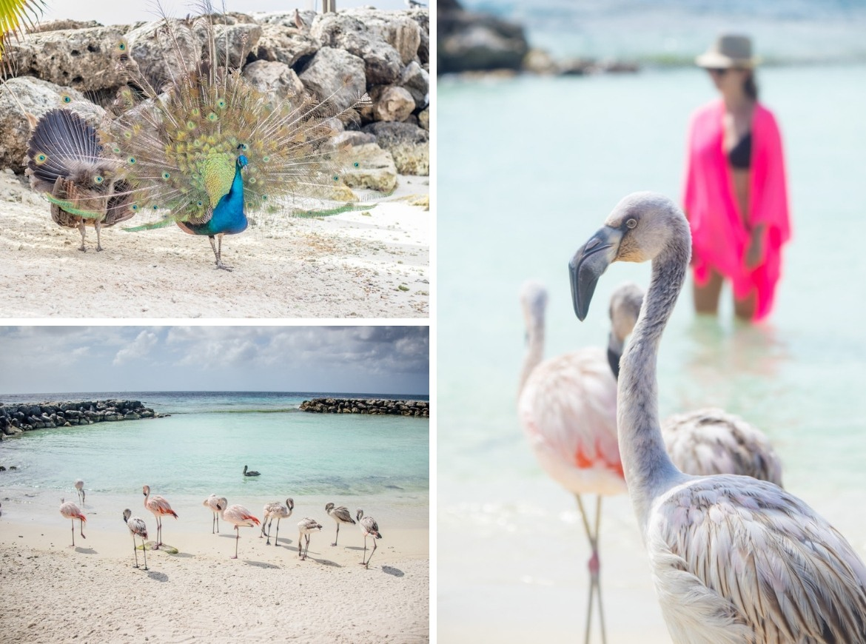 Flamingos on De Palm Island, Aruba