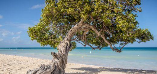 The famous Divi Divi tree on Eagle Beach