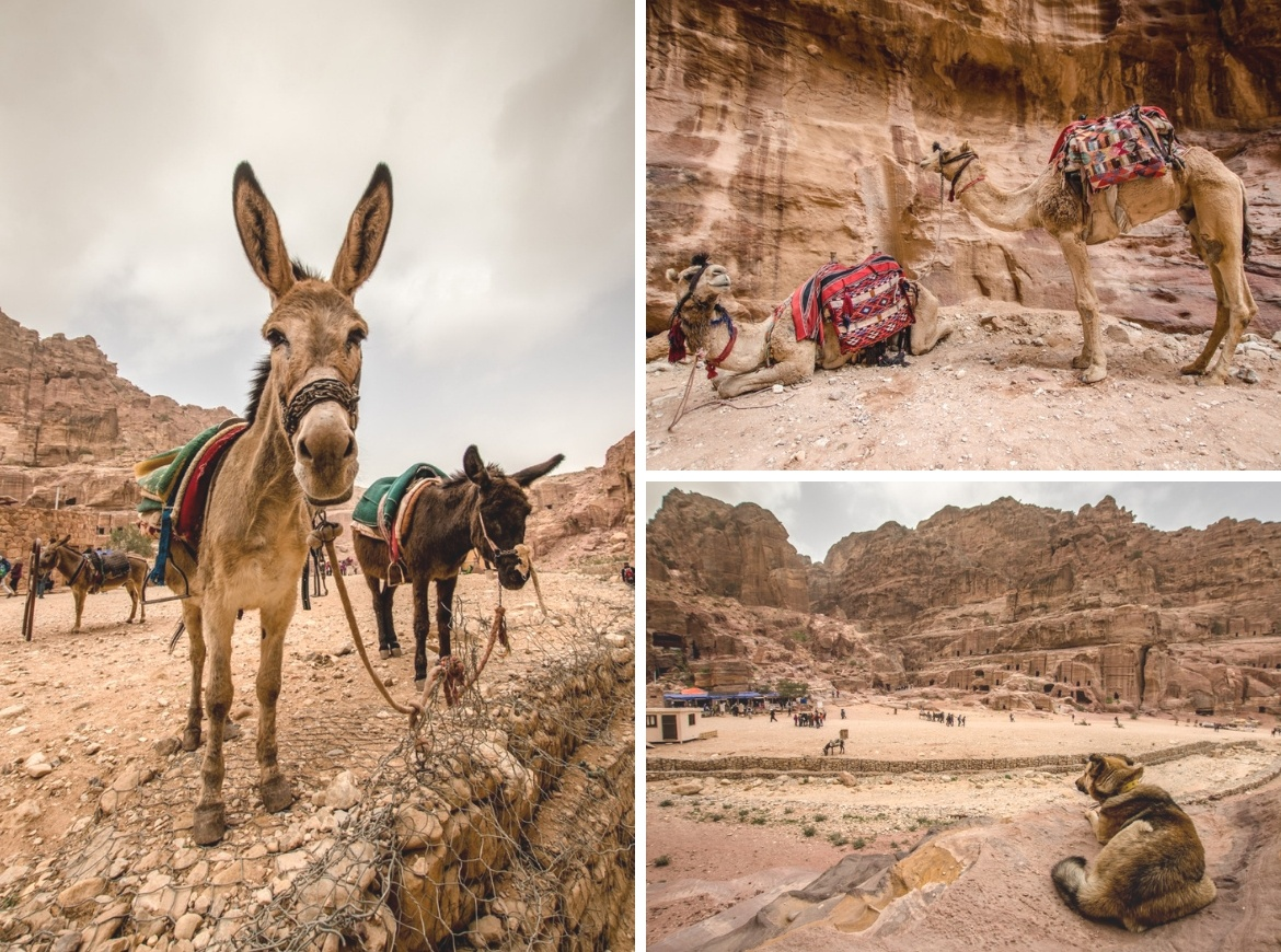 Donkeys and camels at Petra, Jordan