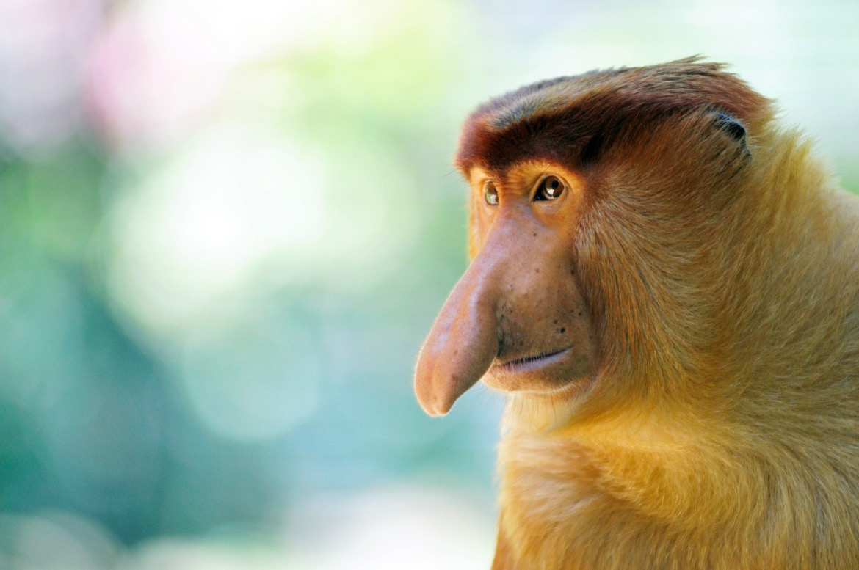 Portrait of male proboscis monkey in Sabah Borneo, Malaysia.