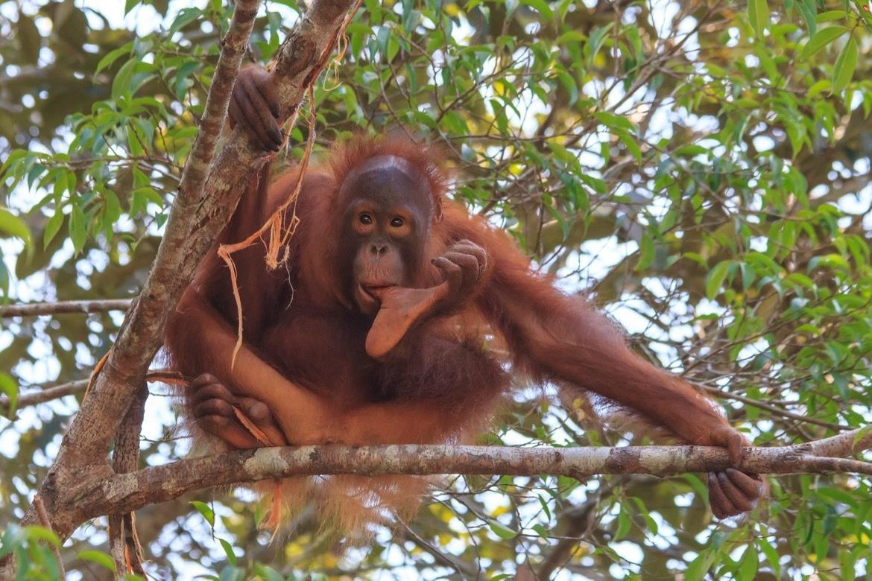 Young Orangutan in Borneo, Malaysia