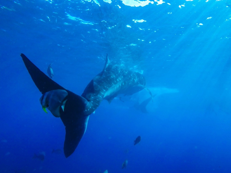 Philippines-diving-Cebu-whale-shark
