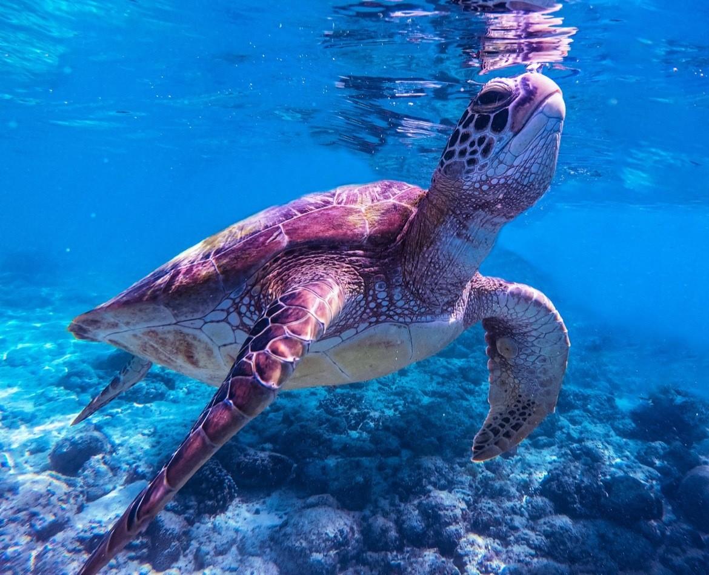 Philippines-diving-Cebu-turtle