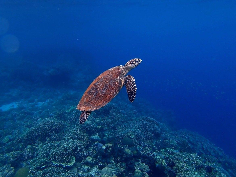 Philippines-diving-Cebu-turtle-freedive