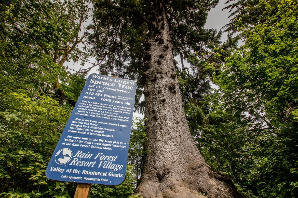 The world's largest Sitka Spruce tree is in the Olympic National Park in Washington