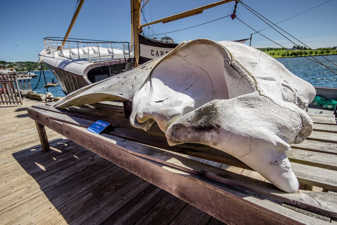 A whale skull on display in Lunenburg
