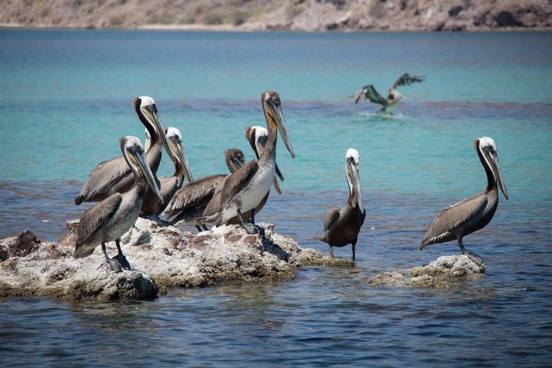 Pelicans in Bahia Concepcion, Mexico