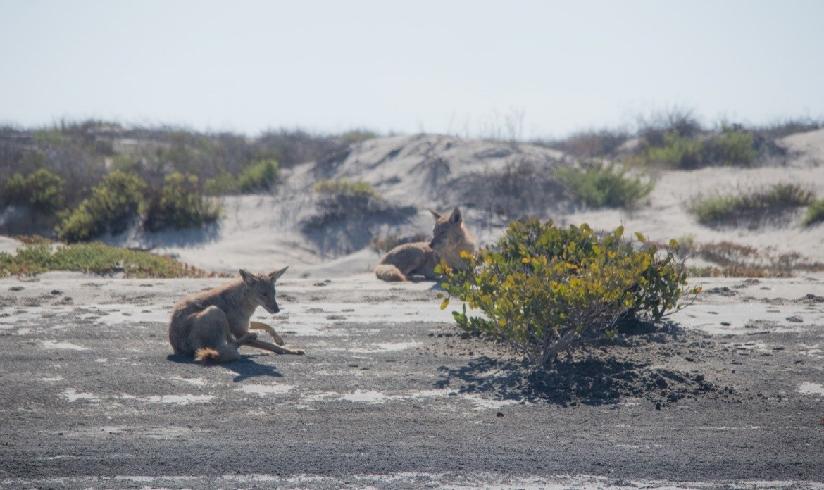 Coyotes in the sand dunes around Magdalena Bay near Adolfo Lopez Mateos