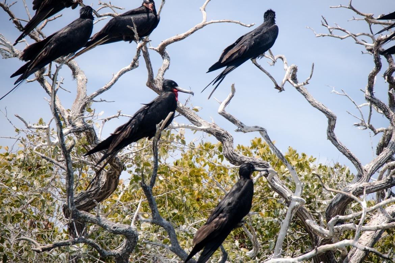 Magnificent frigatebirds near Adolfo Lopez Mateos